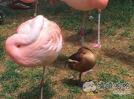不想当火烈鸟的鸭子不是好演员